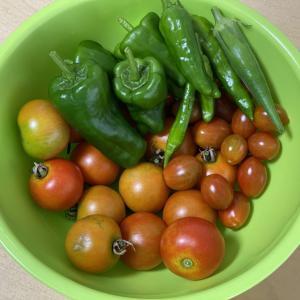 最近の夏野菜収穫!
