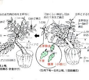 枝つくりのための摘芯
