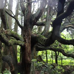 荘厳な雰囲気漂う! 高森殿の杉