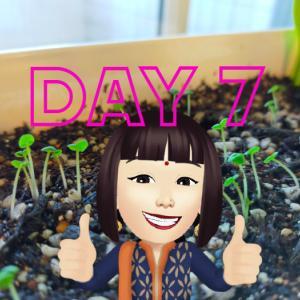 ≪Day 7≫ 日本のトゥルシーすくすく成長中