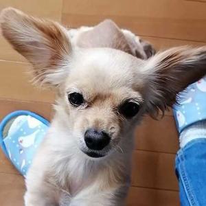 ミックス犬日記:抱っこおねだり犬