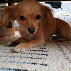 ミックス犬日記:ローテーブルの小さいおうち