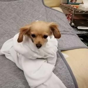 ミックス犬日記:お風呂の後グルグル巻きの犬