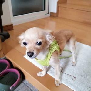 ミックス犬日記:散歩に行きたくてかわいい犬