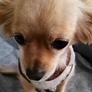 ロキソンニンを誤飲した犬が入院した話 1:ミックス犬日記番外編