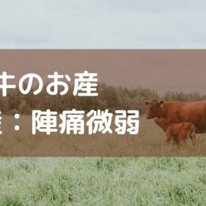 牛のお産 ―難産:陣痛微弱―
