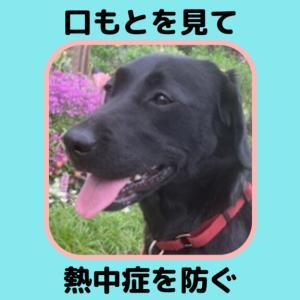 これだけで熱中症は8割防げる【ラブラドール夏の散歩】犬の口&舌は暑さのバロメーター「暑いよ!」のサインを見逃さないで!