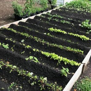 ケベックで家庭菜園始めました!その4