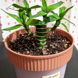 観葉植物に発生したコバエを何とかしたい(その2)