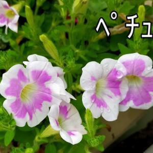 そらちゃんのウンテイの動画♪ ペチュニア 紫陽花 鶏の唐揚げ