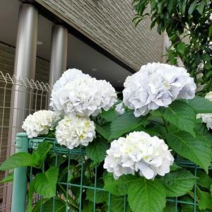 NITORI 冷感パッド 白い紫陽花 サイゼリア