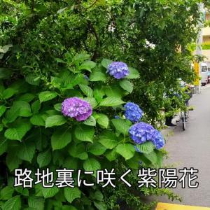 路地裏に咲く紫陽花 そらそらマッサージ 鉄火丼 冷やっこ 夏みかん