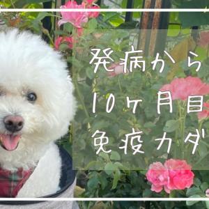 犬のリンパ腫治療日記⑤…発病から10ヵ月目は血尿とおもらしと失禁
