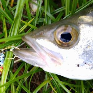 またまたマイクロジグでメッキとセイゴ!ヒットルアーは魚子メタルひらり。6/10ライトゲーム釣行、夕方の部。