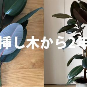 【挿し木から2年】ゴムの木の育て方と注意点