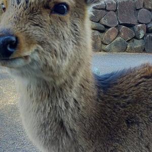 神の宿る #宮島 で、鹿に会ったり、国宝 #厳島神社 に行ったりした時のリポートです。後編