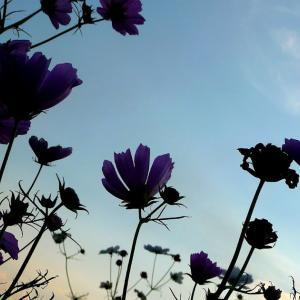 私の運営する写真ブログがコスモスで秋色に染まっています。よかったら見に来てやって下さいね。