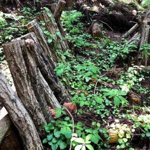 【自給自足】キノコ原木栽培で椎茸をつくってみた
