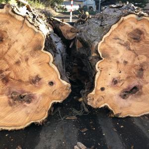【薪集め】イチイ(オンコ)の木を薪にします。