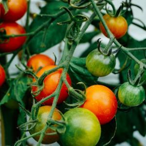 トマトの栄養素リコピンが弱った精子を元気にする