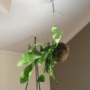 コウモリランの苔玉を大きくしてみた。