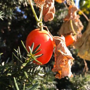 紅色の熟した烏瓜