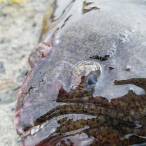 留萌港大町埠頭 / ヒラメ釣り この日はシンキングよりジョルティがお好きだったらしい