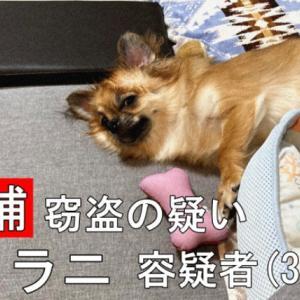 【愛犬警察24時】飼い主の昼食を盗み食い 犬逮捕
