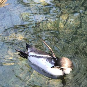 腹がかゆいペンギン