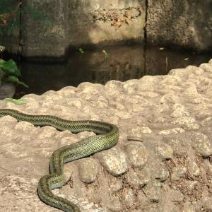 シマヘビの食休み