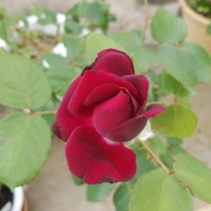 やっと咲き始めたグレーフィン・ディアナ ディープレッドパープルがさすがの美しさ