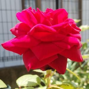 グレーフィン・ディアナ きっちり開花
