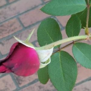 1か月半ぶりに咲いたグレーフィン・ディアナ 今回は蕾も増えて。。