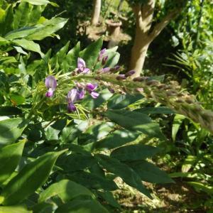 この暑さの中、藤が咲く。。。藤って四季咲きだったっけ?