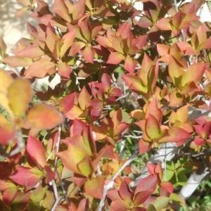 秋めいて ドウダンツツジが淡い紅葉色