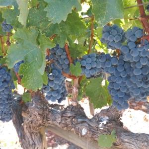 ナパバレー①想像以上に素晴らしいワインカントリ-