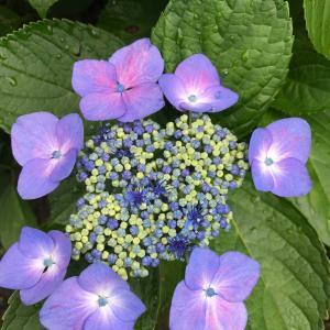 紫陽花を探して。