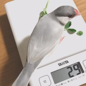 No.42/ ユメちゃん(文鳥さん)はとっても可愛いのですがちょっと困ったことも(>_<)