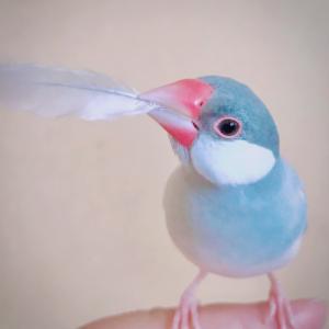 (126)文鳥のユメちゃん  初めての換羽期〜せっかくなので抜けた羽をよーく見てみます
