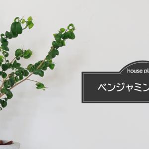 『くるんっとした葉っぱが可愛い!』おしゃれな観葉植物 として人気の高い[ ベンジャミンバロック ]育ててみた