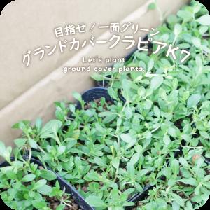 「噂のグランドカバー植物クラピアK7を購入」