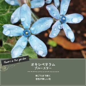 オキシペタラム ブルースターの種採り・冬支度(育て方の紹介)