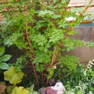 わが家の日陰の庭で輝く植物たち!!真夏のシェードガーデン。