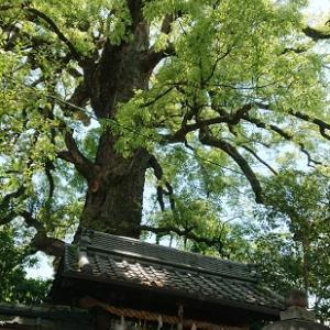 【京都に熊野古道!?・京都観光】新熊野神社の参拝ポイント【大樟・樹齢900年天然記念物】
