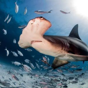 【びっくり!】スーパーの鮮魚コーナーに全長3メートル 重さ200キロのシュモクザメが普通に売られるwww → 売れ行きは?