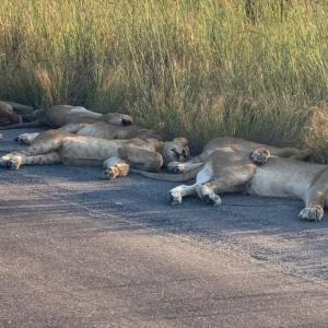 米の動物園で園内全てのライオン、トラがコロナに感染していたことが判明