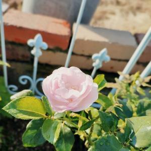 新しく蕾をつけてきた薔薇達