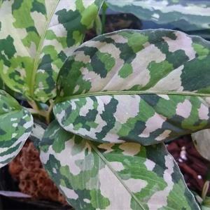 【観葉植物】迷彩柄の希少植物、『アグラオネマ・ピクタム・トリカラー』