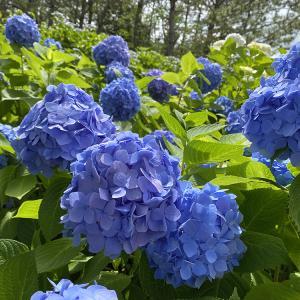 【6月は紫陽花の季節】横浜・八景島シーパラダイス
