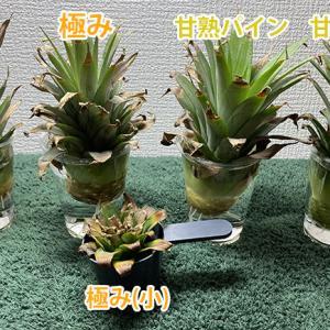 【リボベジ】理想的な根の張り方をした台湾パイナップル【観葉植物】